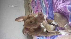 Cuccioli Pitbull red nose