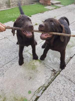 Cuccioli di labrador cioccolato