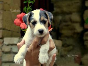 Cucciolo Parson Russell Terrier pedigree Roi