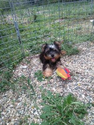 Cucciolo Yorkshire Terrier con Pedigree