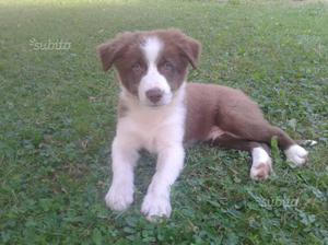 Cucciolo di border collie con pedigree maschietto