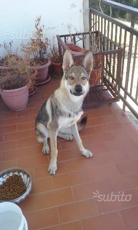 Cucciolo lupo cecoslovacco con pedigree