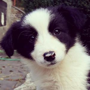 Dolce cucciola border collie