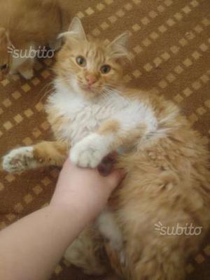 Kokkinosa, 2 anni, femmina, gatto rosso