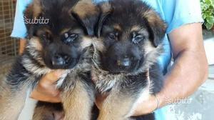 Maschio e Femmina Pastore tedesco cuccioli