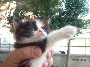 Regalo cuccioli di gattini a pelo semilungo