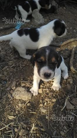 Regalo cuccioli meticci di beagle