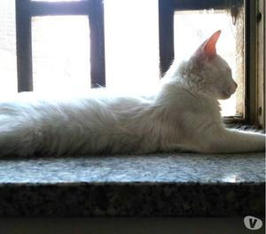 Yuki gatto a pelo lungo.