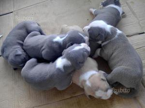 Amstaff blu pedigree enci cuccioli no pitbull