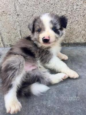 Border Collie blu merle