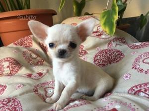 Chihuahua femmina bianca pelo corto