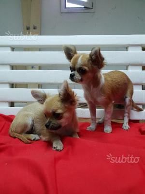 Chihuahua toy a pelo lungo
