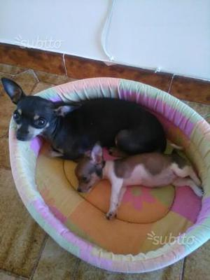 Cucciola Chihuahua Femmina