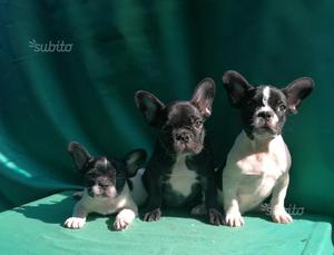 Cuccioli di bull dog francese maschi