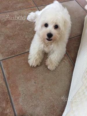 Cucciolo maltese di 5 mesi