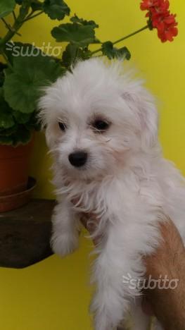 Cucciolo piccolo di maltese con pedigree ENCI
