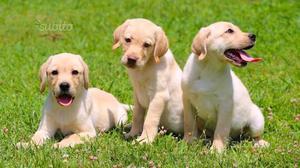 Labrador maschio cucciolo 3 mesi
