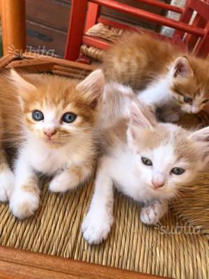 Regalo gattini a pelo lungo
