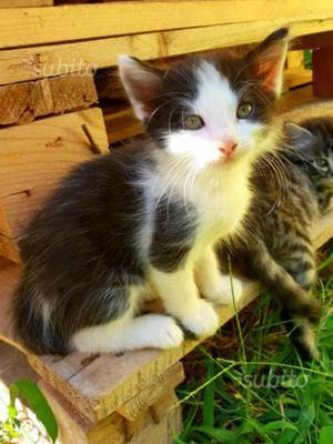 Regalo gattino a pelo semi-lungo