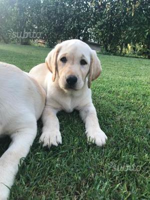 Ultima cucciola disponibile di Labrador Retriever