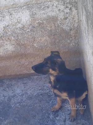 Ultimo cucciolo di pastore tedesco in regalo
