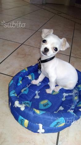 Chiwawa toy bianco pelo raso cucciolo 3 mesi