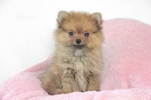Cucciola di Volpino di Pomerania TOY fulva