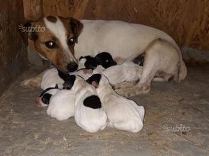 Cuccioli Jack Russell Terrier Bi-Tricolor