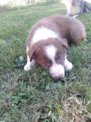 Cucciolo di border collie con pedigree ENCI