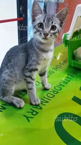 Mela gattina 3 mesi tigrato e bianco in adozione