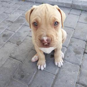 Pitbull Red nose cucciolo