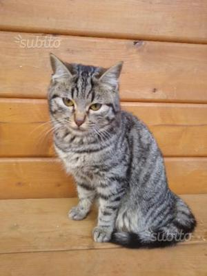 Regalo gattino maschio