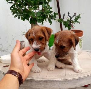 Splendidi cuccioli di jack russell broken