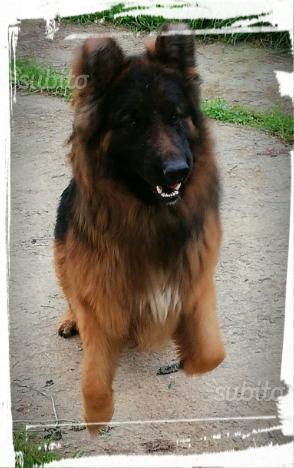 Ultimo cucciolo pastore tedesco pelo lungo