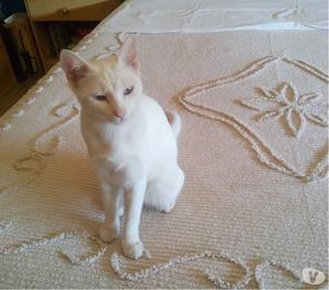 Gattina bianca con occhi azzurri