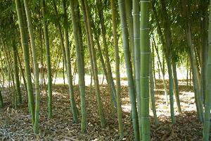 15 semi di bambù gigante phyllostachys edulis