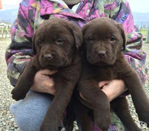 Cuccioli di Labrador Retriever Chocolate con pedigree