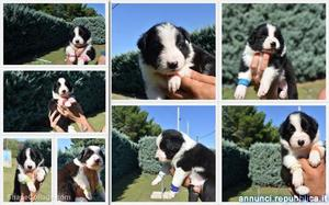 Cuccioli di Border Collie Cane Border Collie Foggia