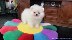 Cuccioli volpino bianco Cane Spitz Tedesco Piccolo Ossona