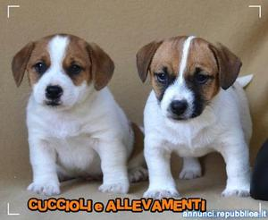 Jack Russell Terrier con Pedigree - Allevamento Cane Jack