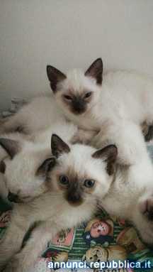 Siamese Tradizionale maschietti Gatto Siamese