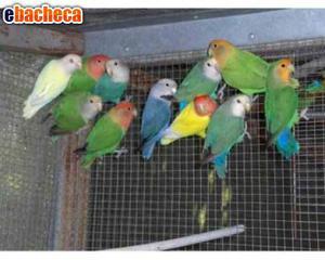 Solo in blocco 50 pappaga