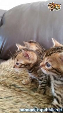 Splendidi cuccioli bengala per compagno Gatto Bengala Roma