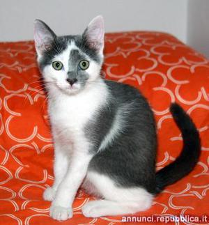 gattina cucciola 3 mesi Gatto Padova