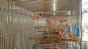 Canarini selezionati rosso mosaico