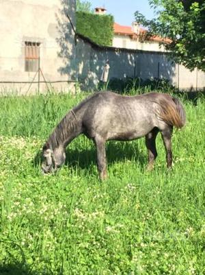 Cavallo arabo iscritto anica di 7 anni