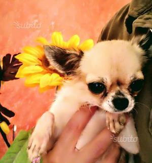 Chihuahua femmina pedigree prestigioso