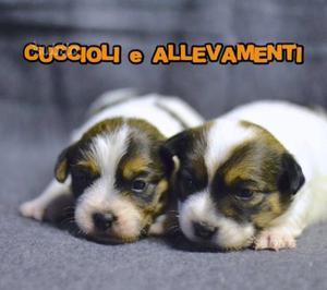 """Cuccioli Jack Russell """"russel"""" pelo Broken/Ruvido"""