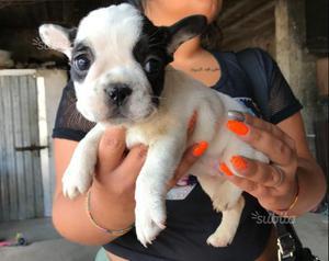 Cuccioli di Bulldog Francese con pedigree