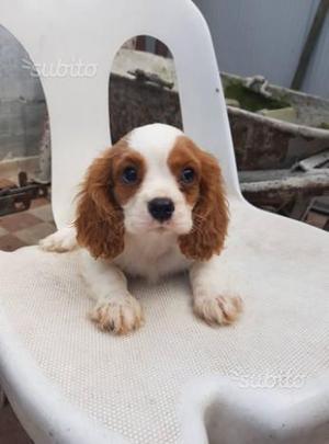 Cuccioli di Cavalier King con pedigree
